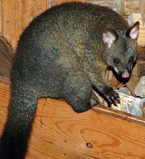548px-Possum_Cradle_Mountain.jpg